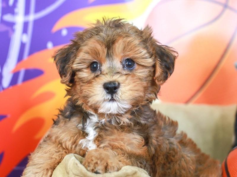 Hava Apso-Female-RED-3221002-Animal Kingdom   Puppies N Love