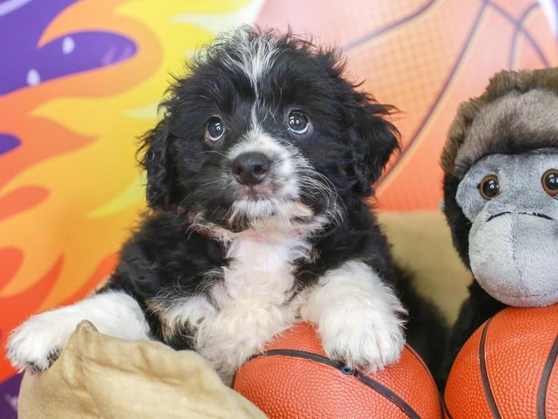 Aussie Poo-Female-BLK/TN PANTS-3221298-Animal Kingdom   Puppies N Love