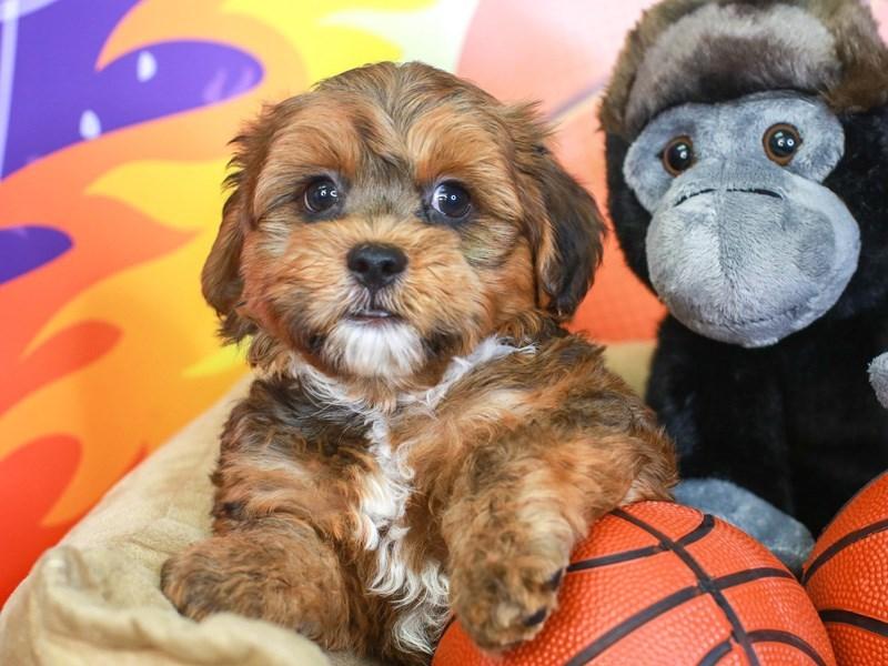 Hava Apso-Male-RED/WHT-3220999-Animal Kingdom   Puppies N Love
