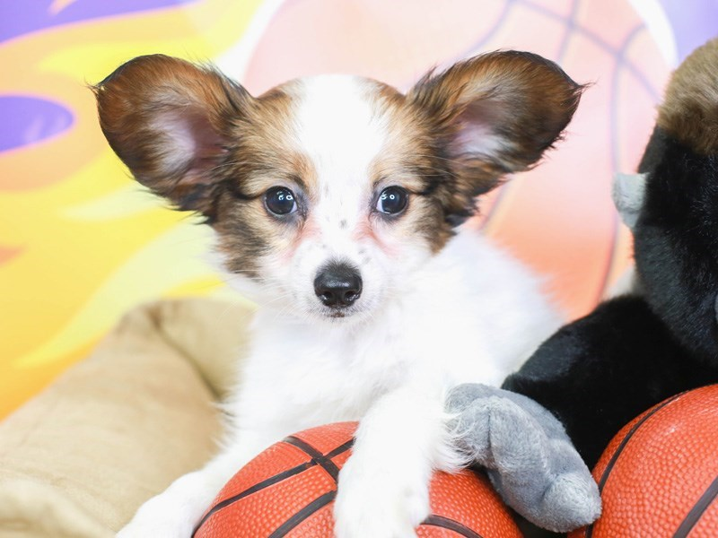 Papillon-Male-White and Red-3219455-Animal Kingdom   Puppies N Love