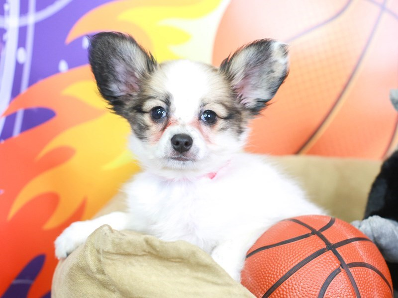 Papillon-Female-White and Sable-3219459-Animal Kingdom   Puppies N Love
