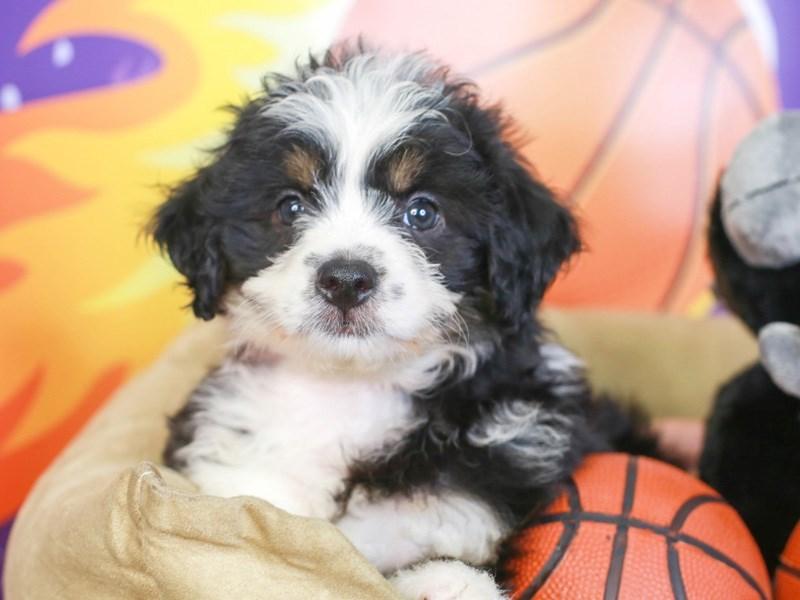Aussie Poo-Female-TRI/TAN PANTS-3221299-Animal Kingdom   Puppies N Love