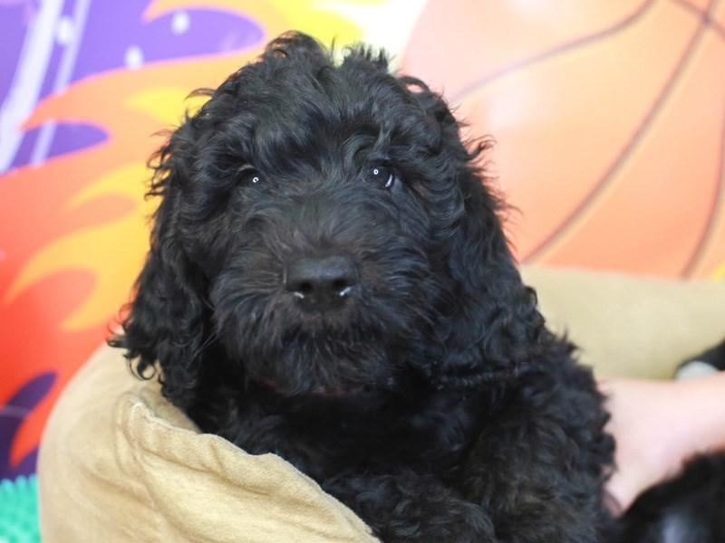 Goldendoodle-Male-BLACK-3221063-Animal Kingdom | Puppies N Love