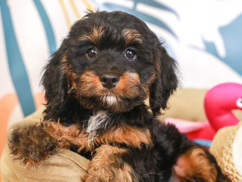 Cockapoo-Male-BLACK-3231057-Animal Kingdom   Puppies N Love