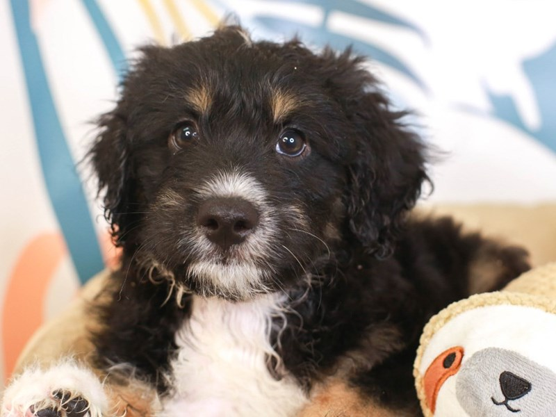 Aussie Poo-Male-TRI-3231028-Animal Kingdom   Puppies N Love