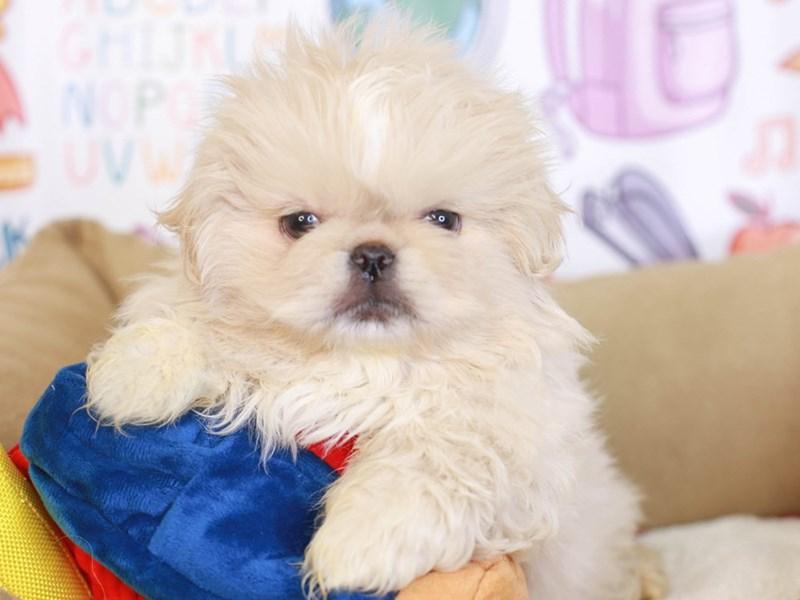 Pekingese-Male-Cream-3249048-Animal Kingdom | Puppies N Love