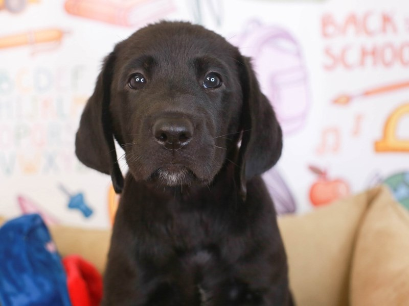 Labrador Retriever-Male-blk-3249426-Animal Kingdom | Puppies N Love