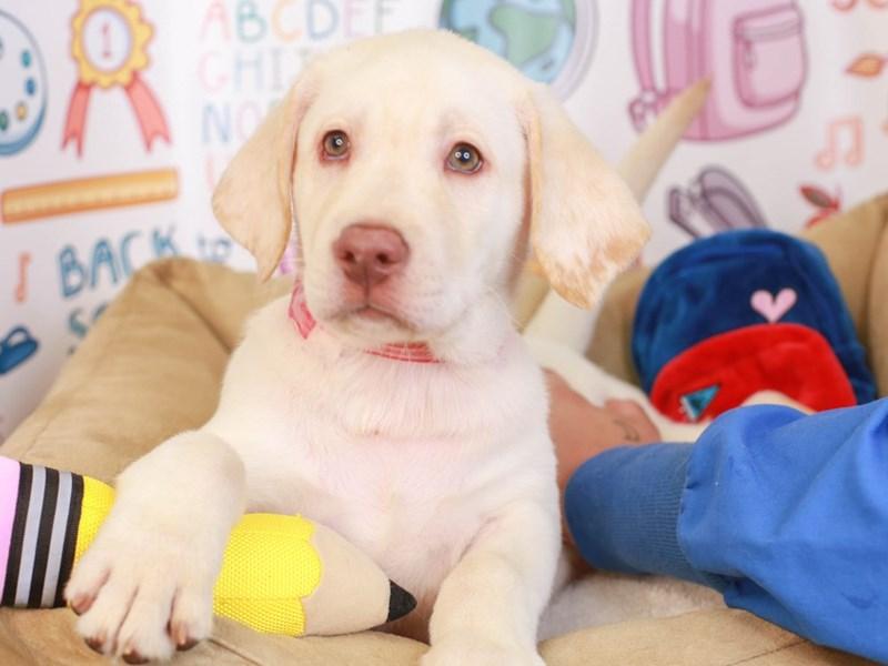 Labrador Retriever-Male-wht-3249428-Animal Kingdom | Puppies N Love