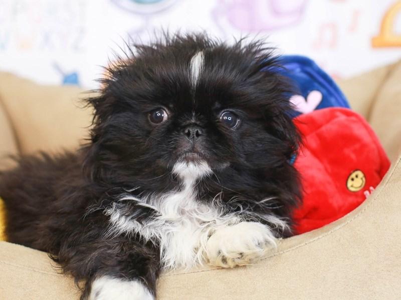 Pekingese-Male-Black-3249050-Animal Kingdom | Puppies N Love