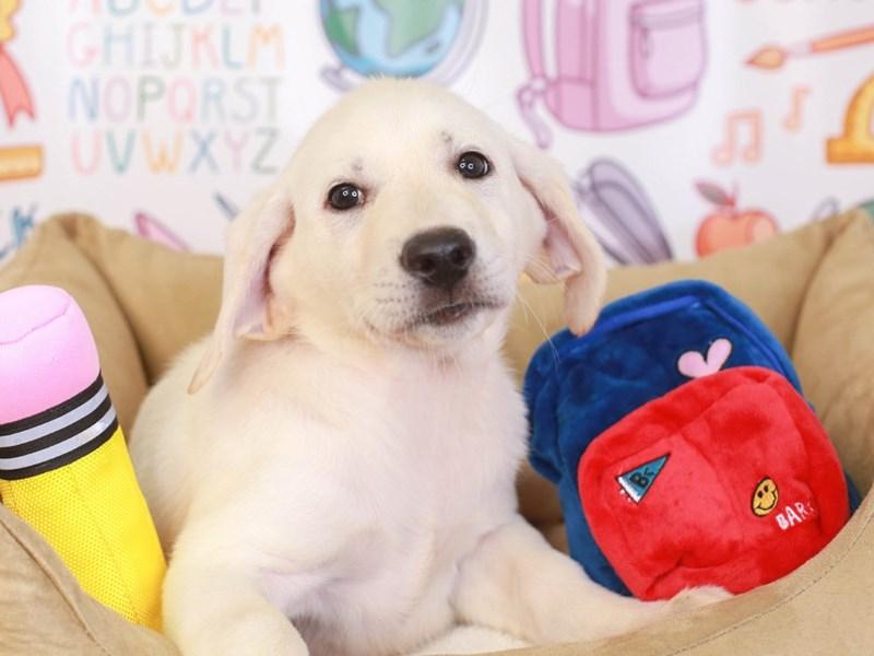 Labrador Retriever-Female-wht-3249431-Animal Kingdom | Puppies N Love