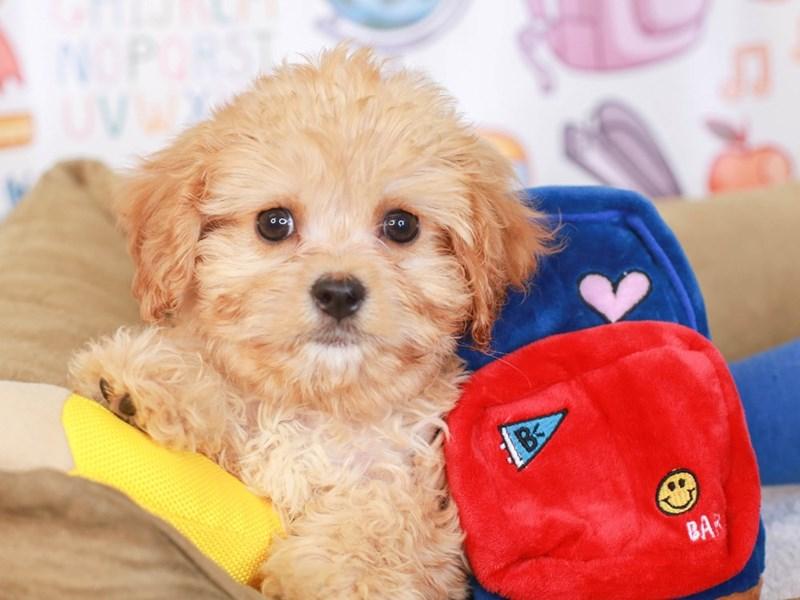Cavachon-Male-APCT-3250321-Animal Kingdom | Puppies N Love