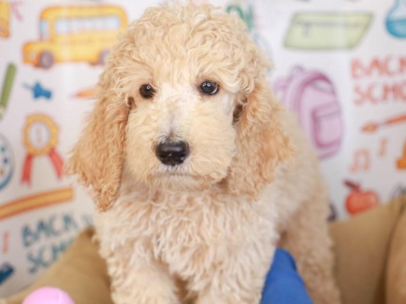 Standard Poodle-Male-Apricot-3249024-Animal Kingdom   Puppies N Love