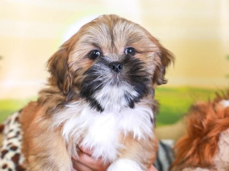 Lhasa Apso-Male-BRWN & WHT-3259705-Animal Kingdom | Puppies N Love