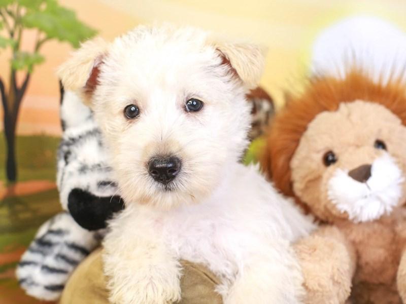 Scottish Terrier-Female-wheat-3259997-Animal Kingdom | Puppies N Love