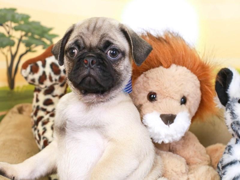 Pug-Male-Fawn-3259013-Animal Kingdom   Puppies N Love
