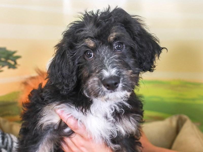 Aussie Poo-Female-blk & tn-3260170-Animal Kingdom   Puppies N Love