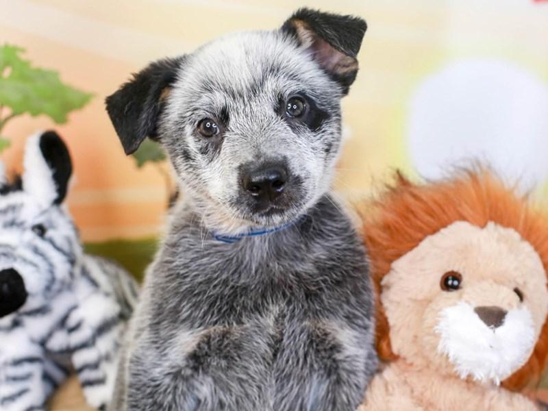 Blue Heeler-Male-blue-3260158-Animal Kingdom | Puppies N Love