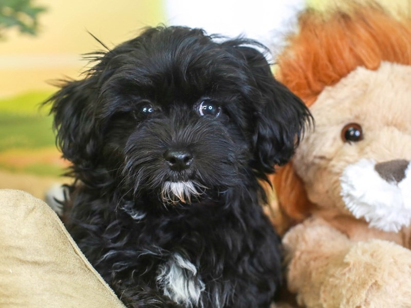 Maltipoo-Female-blk-3259934-Animal Kingdom | Puppies N Love