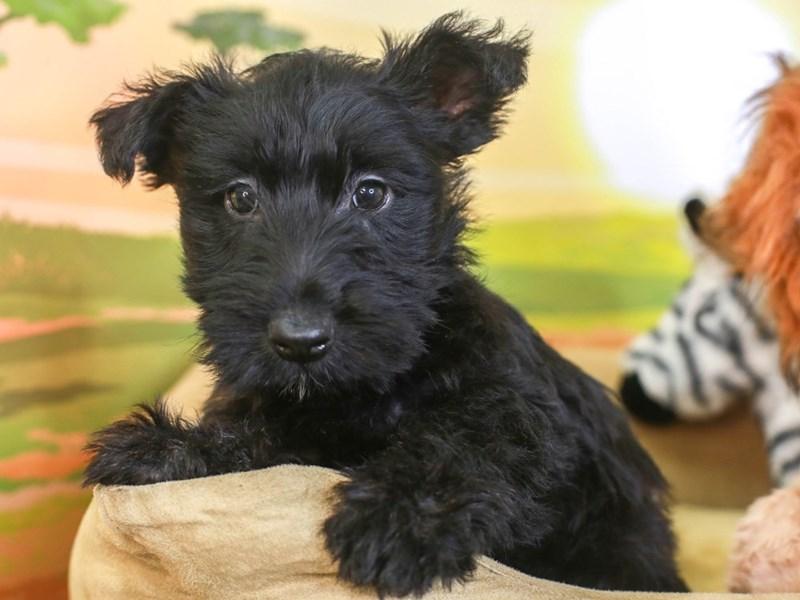 Scottish Terrier-Female-black-3259995-Animal Kingdom | Puppies N Love