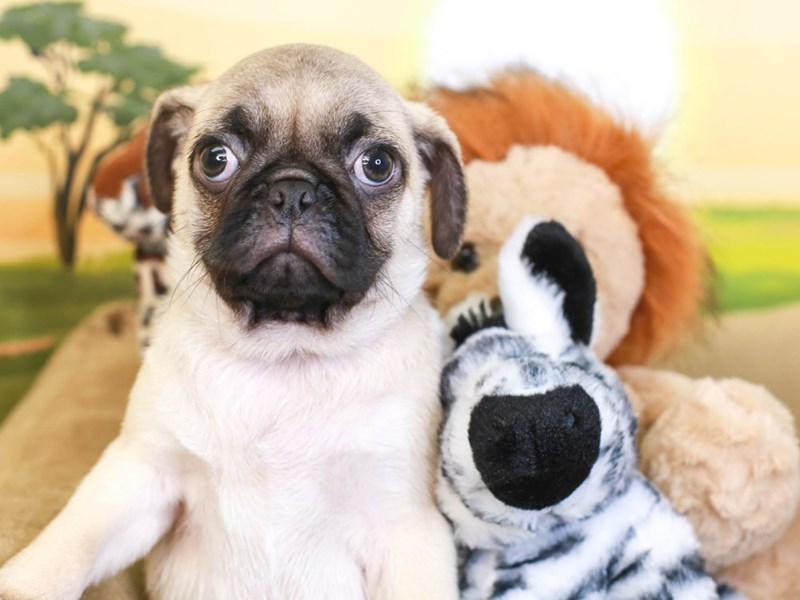 Pug-Male-Fawn-3259012-Animal Kingdom   Puppies N Love