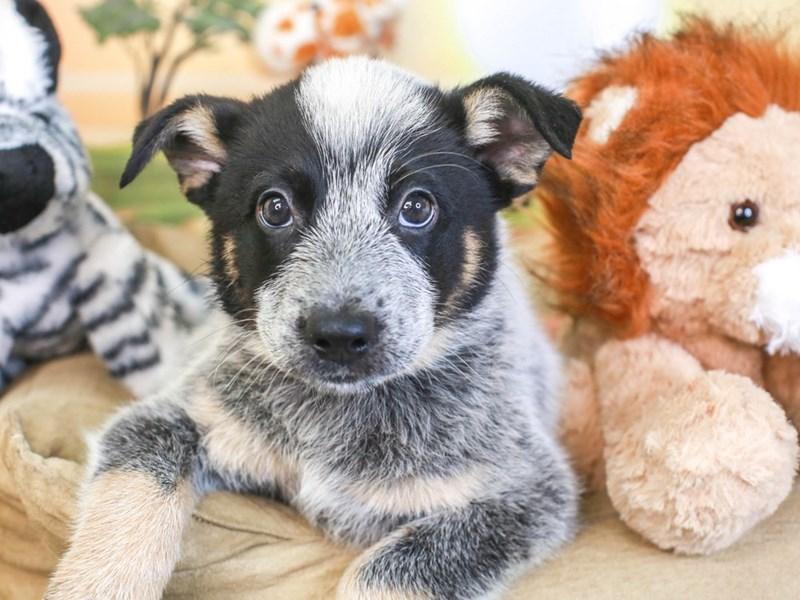 Blue Heeler-Male-blue-3260161-Animal Kingdom | Puppies N Love