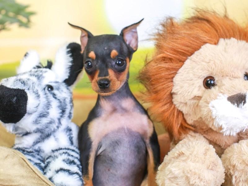 Mini Pinscher-Female-blk & tn-3259957-Animal Kingdom | Puppies N Love
