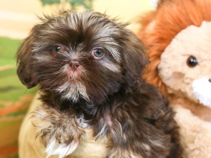 Shih Tzu-Male-choc grzzl-3258870-Animal Kingdom | Puppies N Love