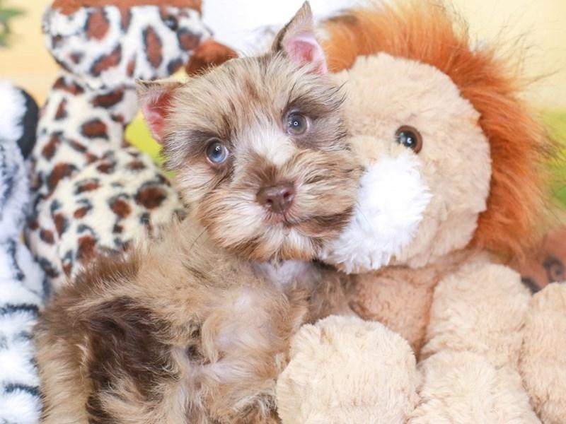 Confetti Schnauzer-Male-chc merle-3259662-Animal Kingdom | Puppies N Love