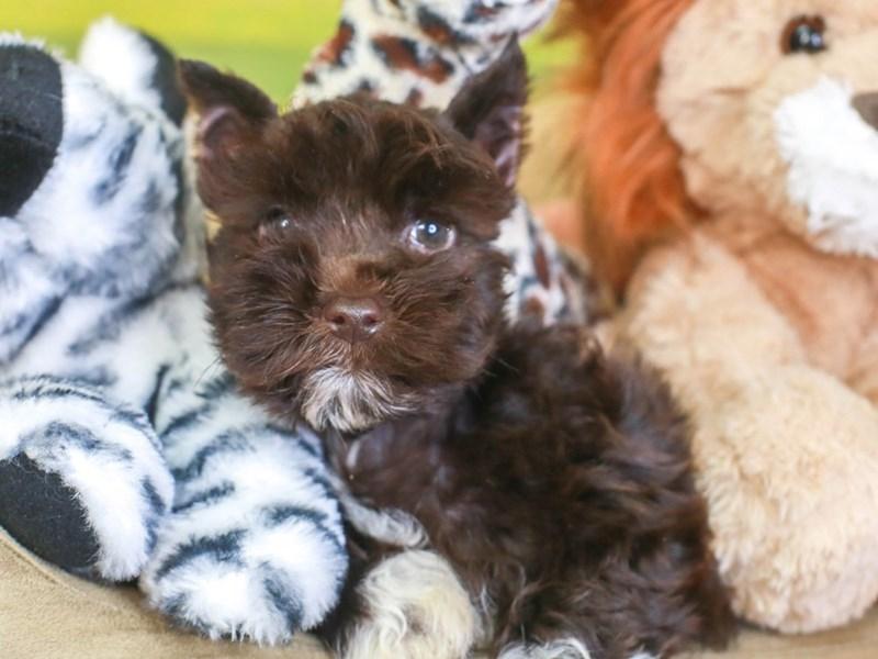 Confetti Schnauzer-Male-chlt & wht-3259664-Animal Kingdom | Puppies N Love