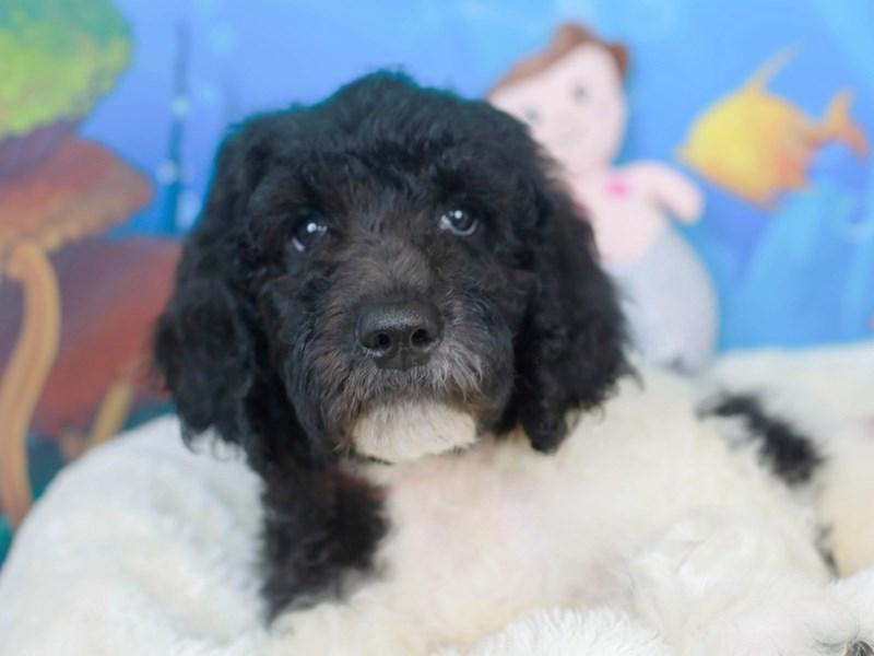 Goldendoodle-Male-BLACK/WHITE-3269106-Animal Kingdom | Puppies N Love
