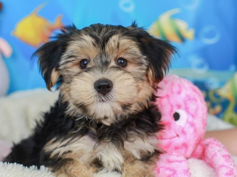 Morkie-Male-black & tan-3269248-Animal Kingdom | Puppies N Love
