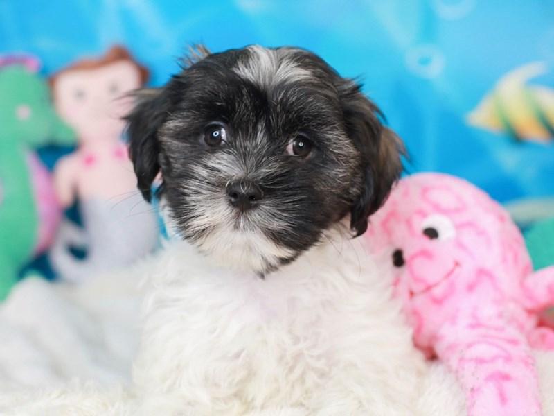 Malshi-Male-dark tri-3268568-Animal Kingdom | Puppies N Love