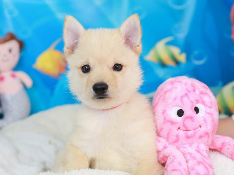 Schipperke-Male-cream-3268816-Animal Kingdom | Puppies N Love