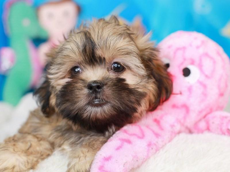 Malshi-Female-brown-3268503-Animal Kingdom | Puppies N Love