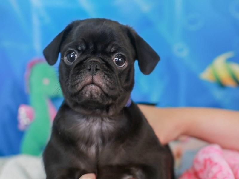 Pug-Male-Black-3267315-Animal Kingdom   Puppies N Love
