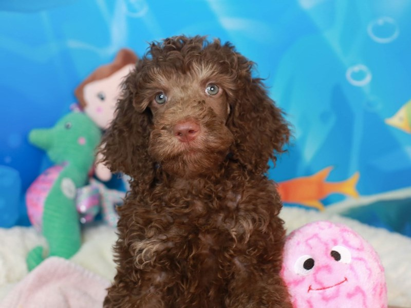 Standard Poodle-Male-chc-3268924-Animal Kingdom   Puppies N Love