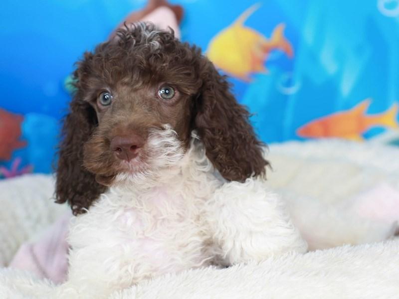 Standard Poodle-Male-chc-3268926-Animal Kingdom   Puppies N Love