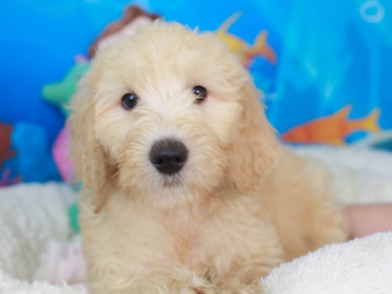 Goldendoodle-Female-GOLD-3269111-Animal Kingdom | Puppies N Love