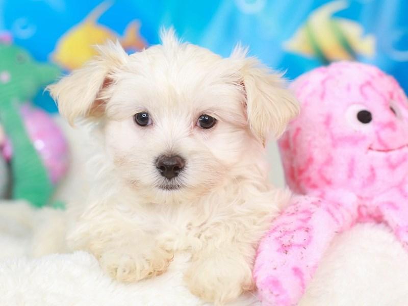 Morkie-Male-cream-3269540-Animal Kingdom | Puppies N Love