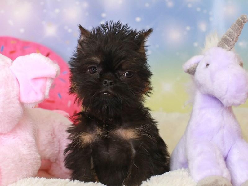 Brussels Griffon-Female-blk-3277648-Animal Kingdom | Puppies N Love