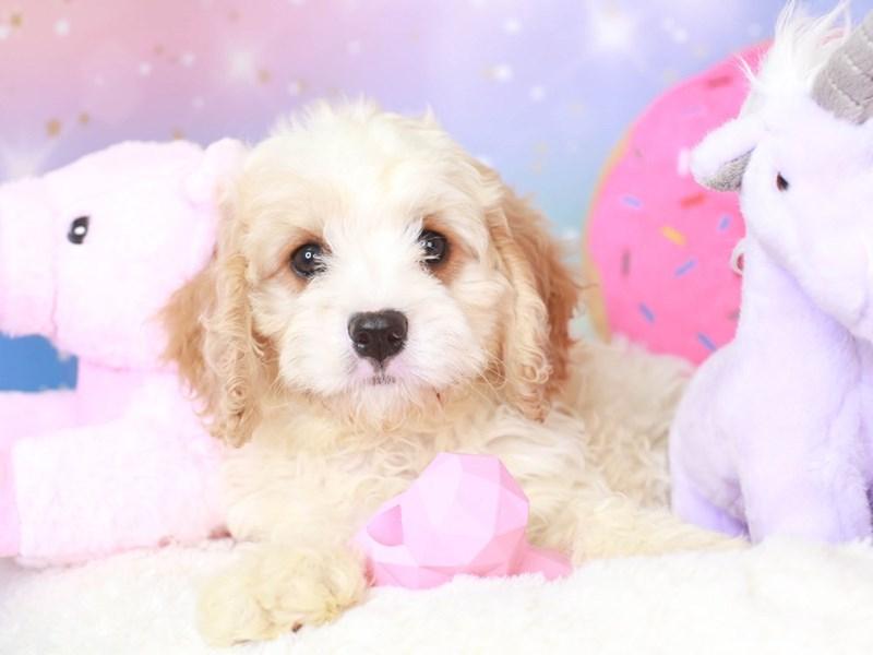 Cavapoo-Male-red & white-3277808-Animal Kingdom | Puppies N Love