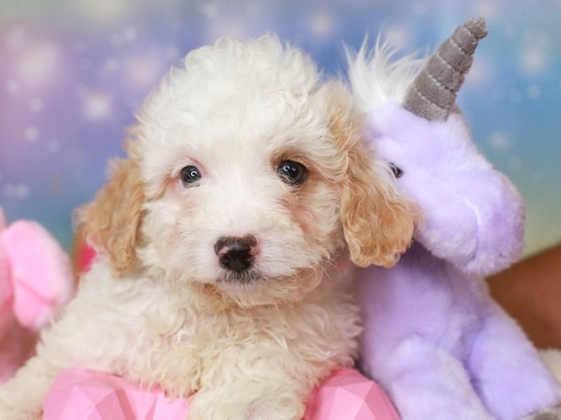 Cavachon Poo-Male-buff & white-3278250-Animal Kingdom | Puppies N Love