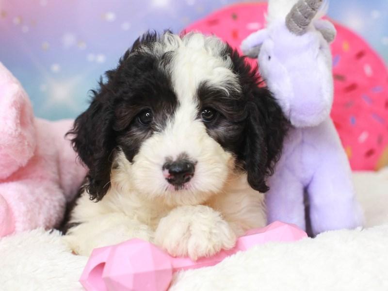 Mini Sheepadoodle-Female-black & white-3277876-Animal Kingdom | Puppies N Love