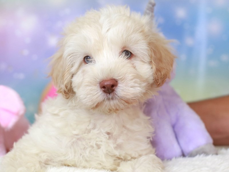 Cavachon Poo-Male-buff-3278248-Animal Kingdom | Puppies N Love