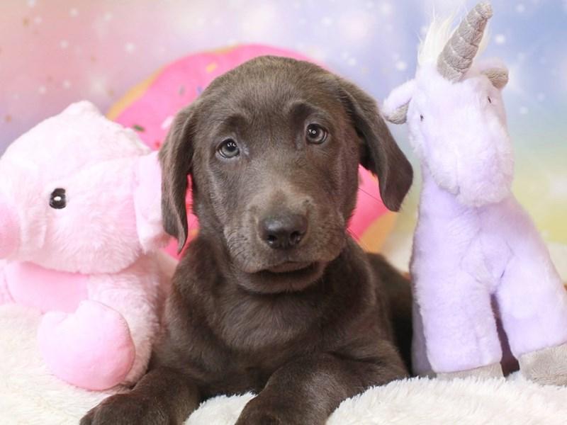 Labrador Retriever-Female-charcoal-3272265-Animal Kingdom | Puppies N Love