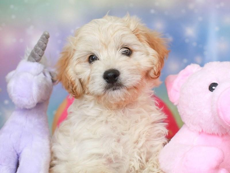 Cavachon Poo-Female-buff-3278251-Animal Kingdom | Puppies N Love