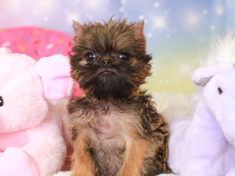 Brussels Griffon-Female-rough belge-3277646-Animal Kingdom | Puppies N Love