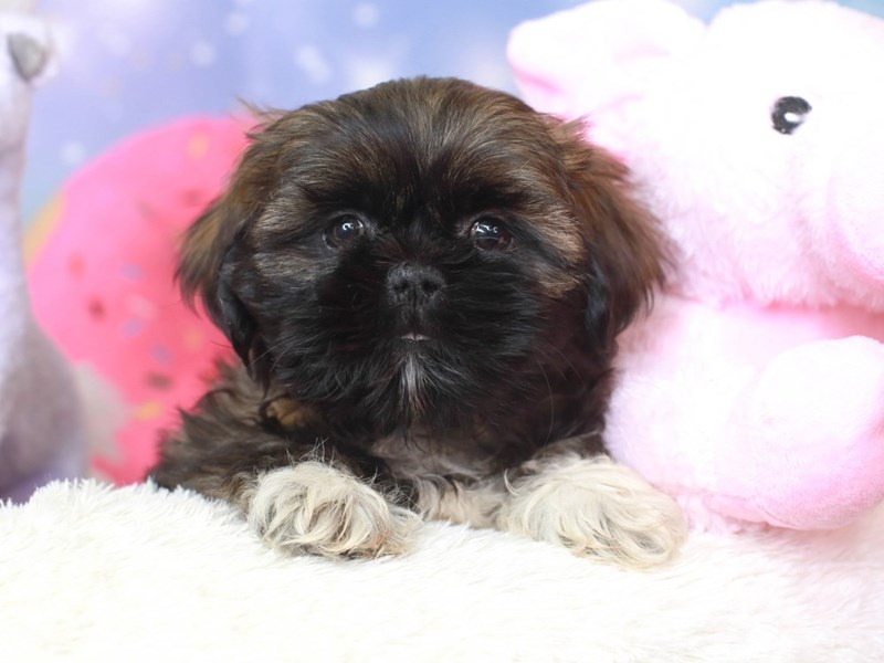 Shih Tzu-Male-grizzle & white-3278332-Animal Kingdom | Puppies N Love