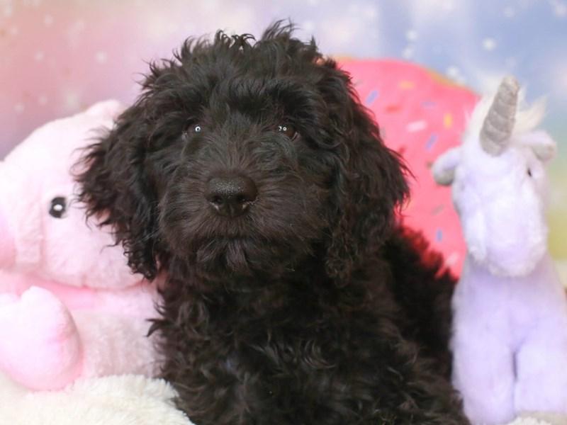 Goldendoodle-Female-blk-3277384-Animal Kingdom | Puppies N Love