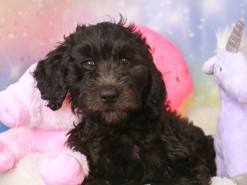 Goldendoodle-Female-blk-3277385-Animal Kingdom | Puppies N Love